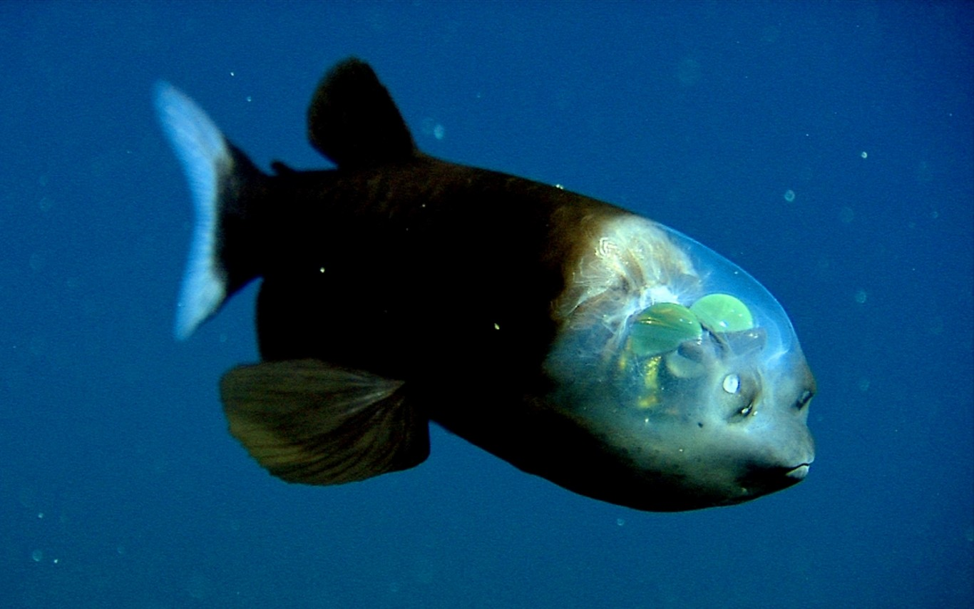 BARRELEYE FISH Ideas