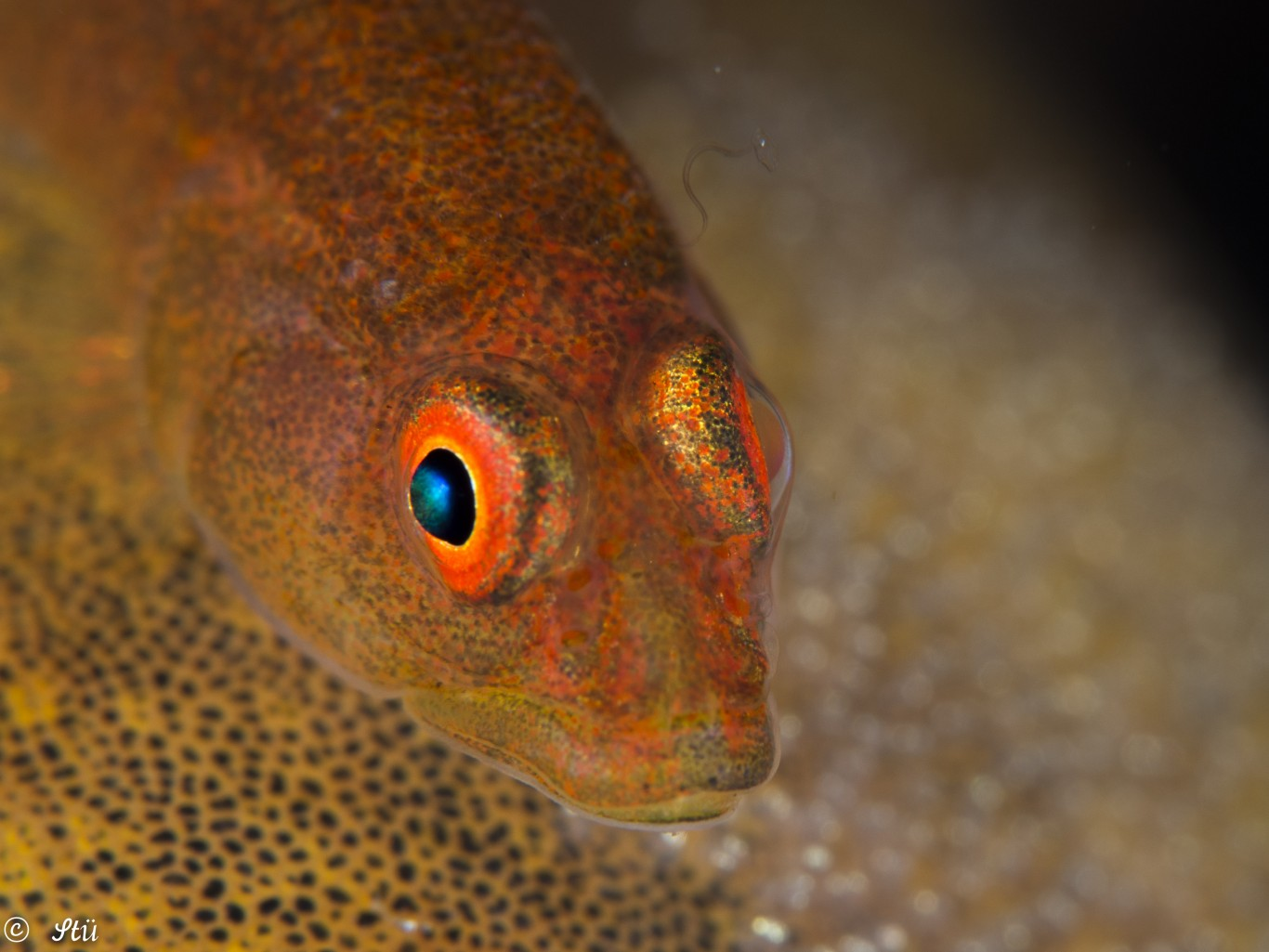 Goby with eggs