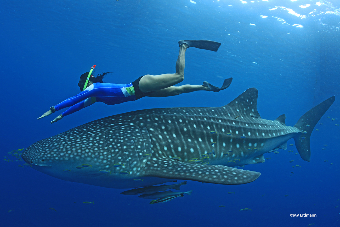 A snorkeller gets up close and personal with a whale shark