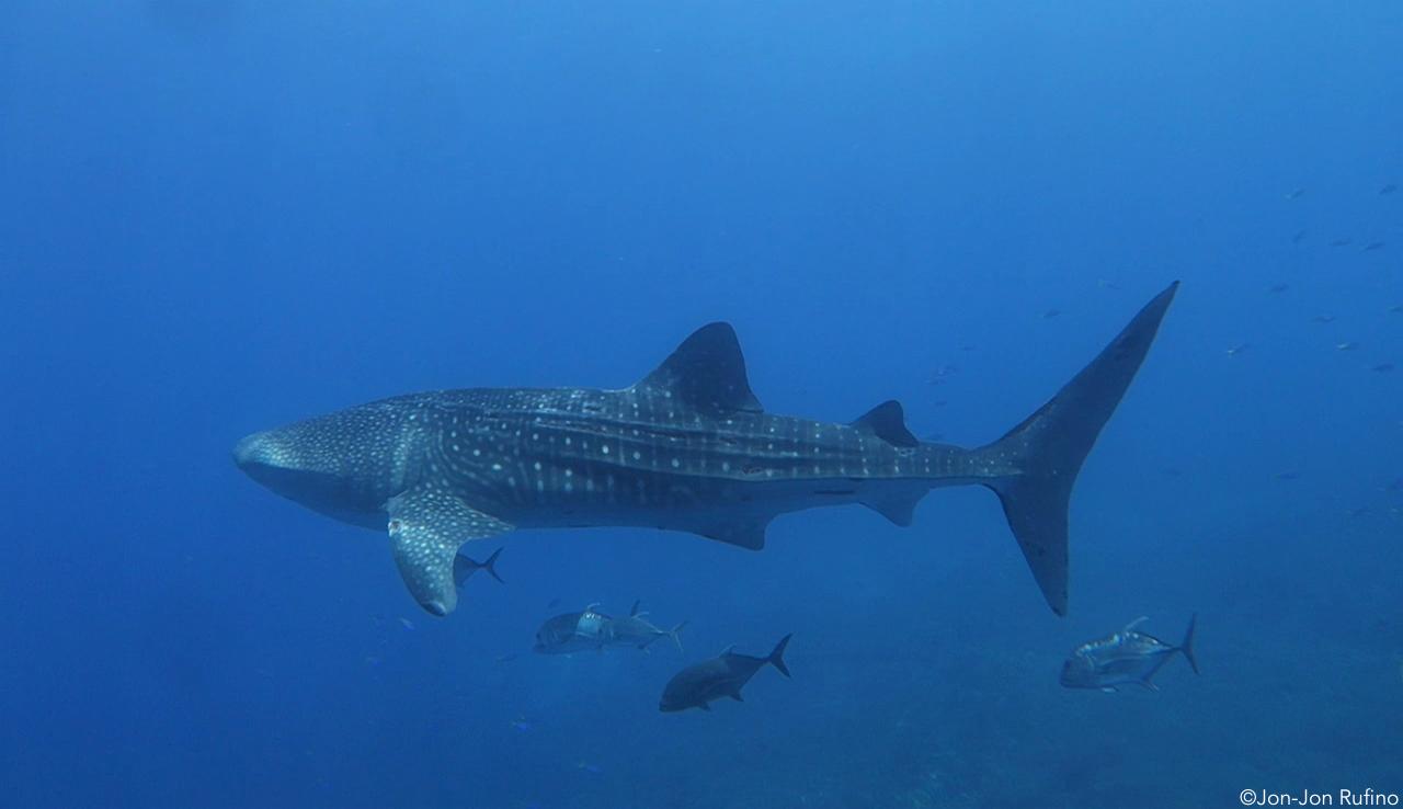 1000th Whale Shark