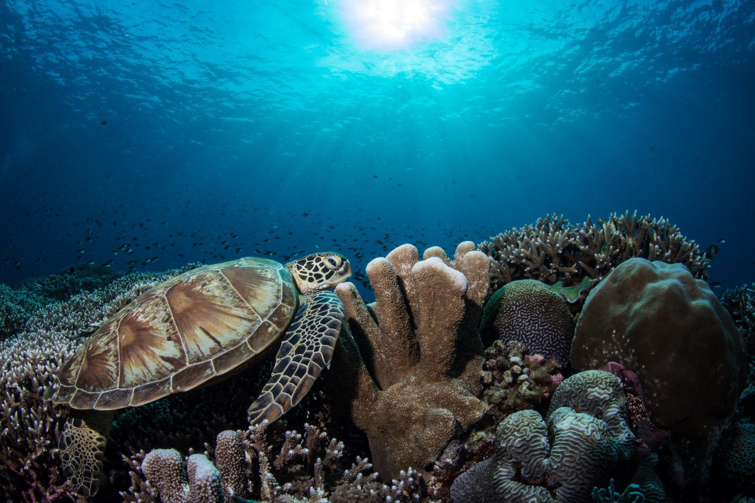 A turtle rests on the reef