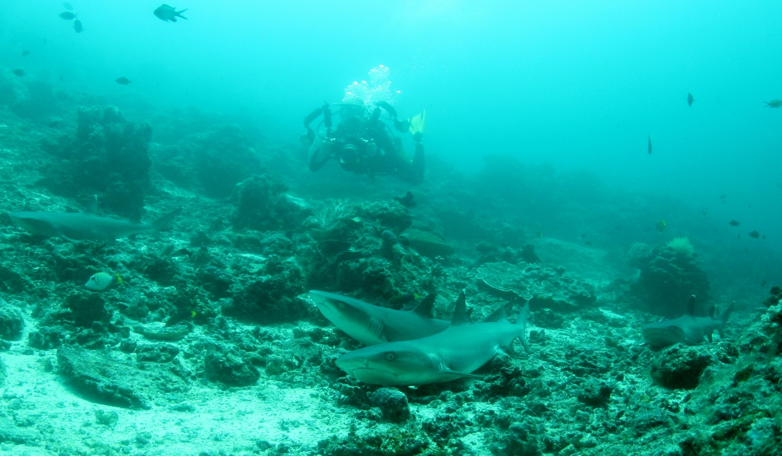 Sabah's sharks are hugely popular with dive tourists