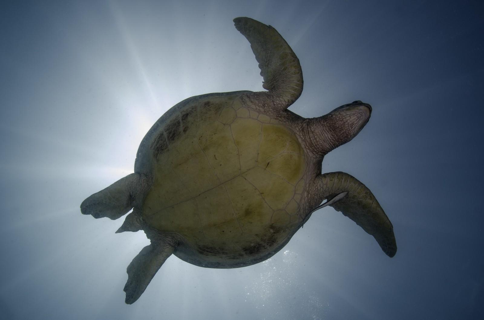 a-swimming-green-sea-turtle-chelonia-mydas-on-the-scuba-junkie-house-reef-mabul-island-tino-hermann1.jpg