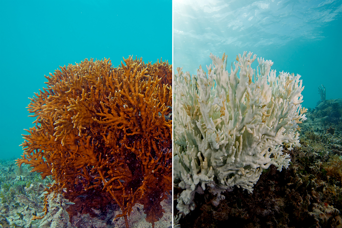 fire coral before and after bleaching