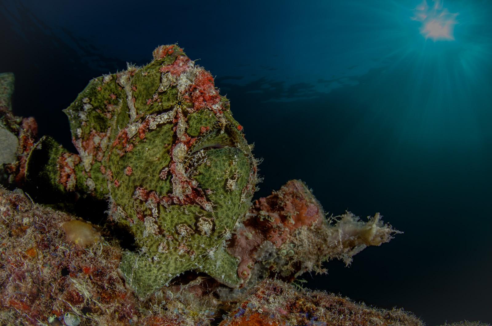 giant-frog-fish-antennarius-commersonii-mabul-island-tino-hermann.jpg