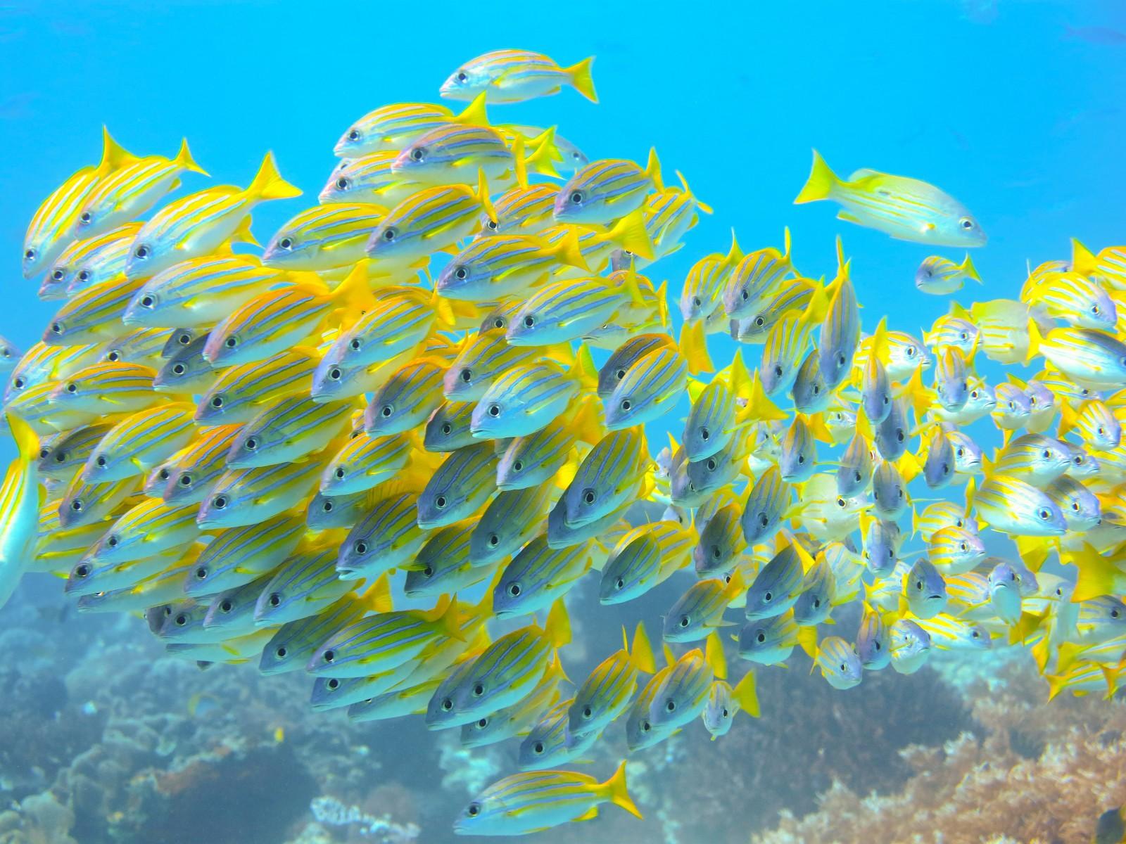 Schooling fish, Dampier Strait