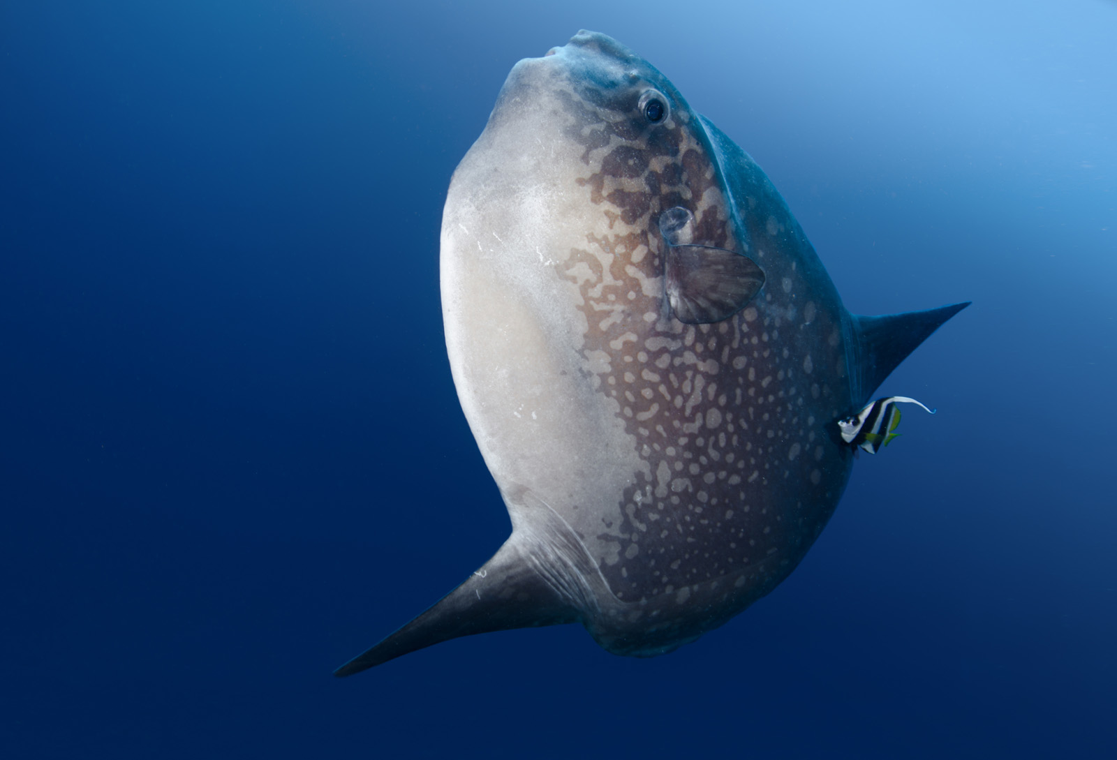 ocean-sunfish-mola-mola-tino-hermann.jpg
