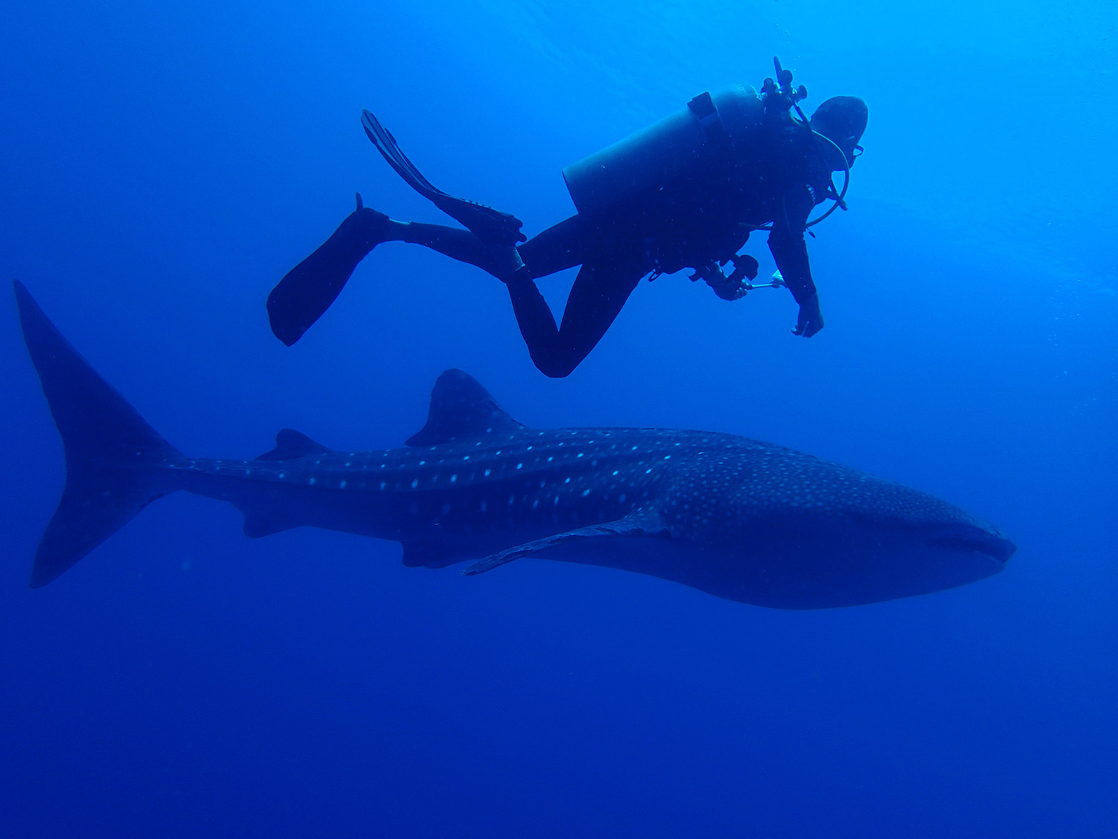a tourist swims alongside a whale shark