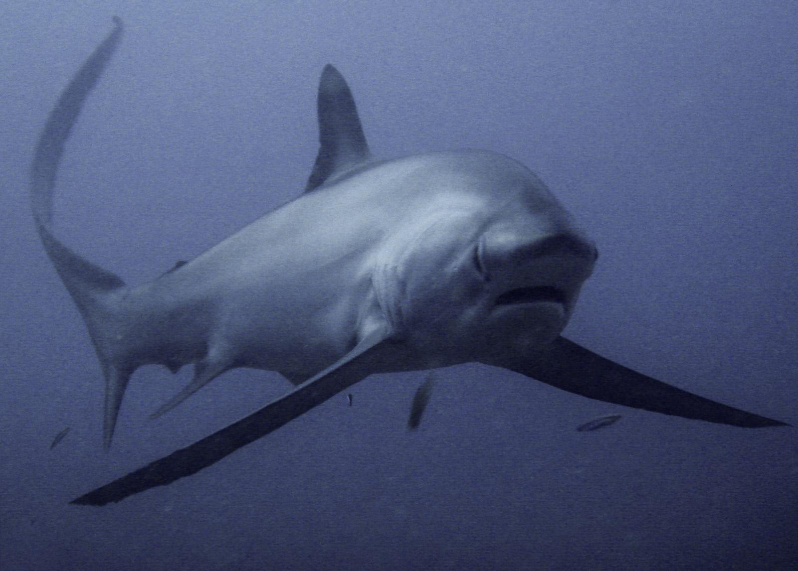pelagic-thresher-shark-alopias-pelagicus-on-the-deep-wall-on-south-point-sipadan-island-tino-hermann.jpg