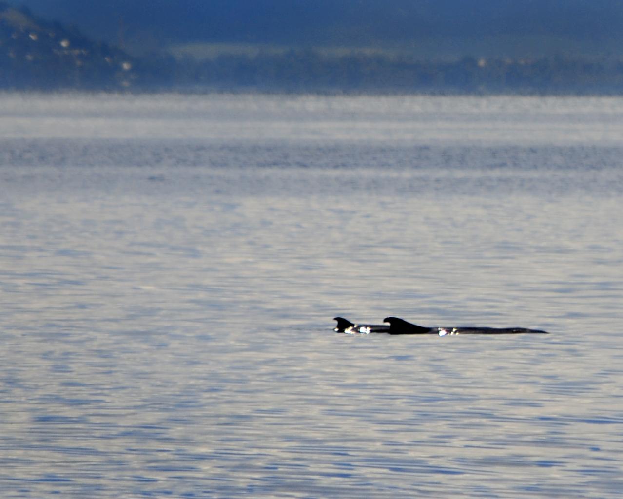 pygmy-sperm-whales-by-gregg-yan2.jpg