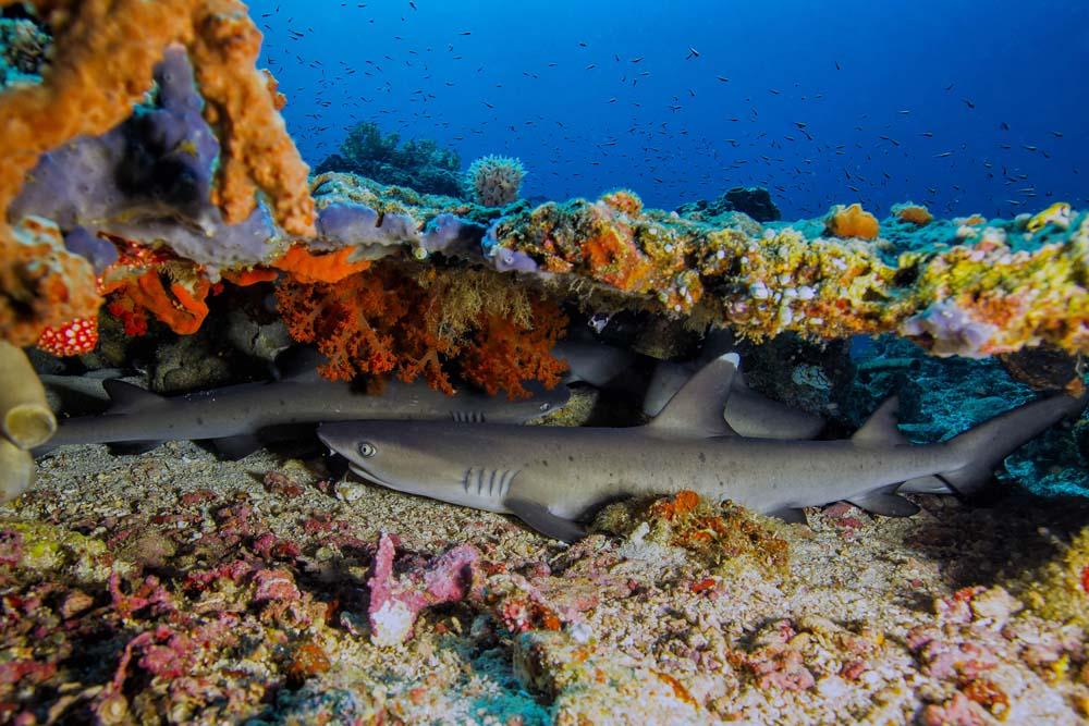 resting-baby-white-tip-sharks-sahaung-bangka-island.jpg