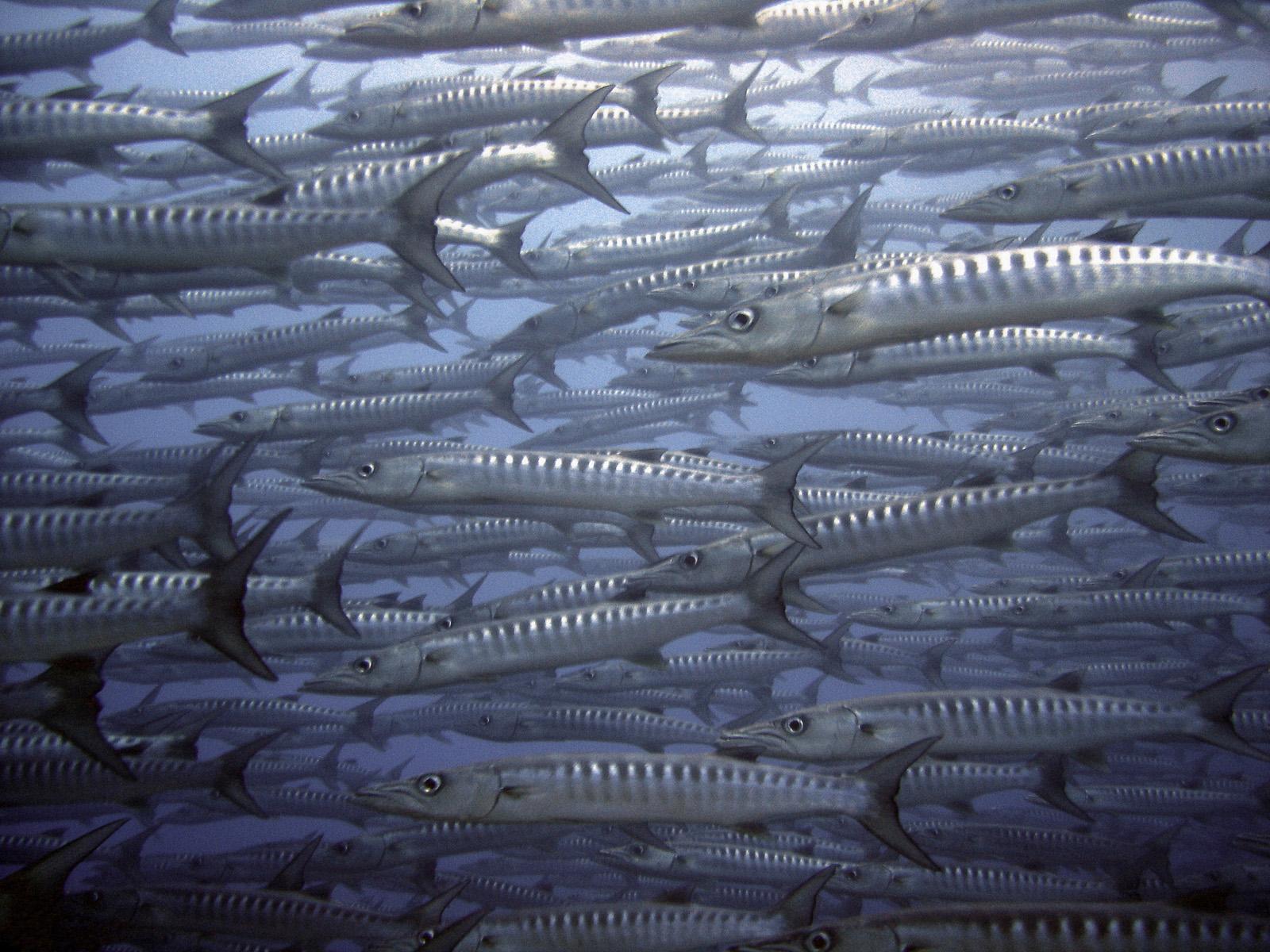 schooling-chevron-barracuda-sphyraena-putnamiae-at-the-world-famous-barracuda-point-sipadan-island-tino-hermann.jpg