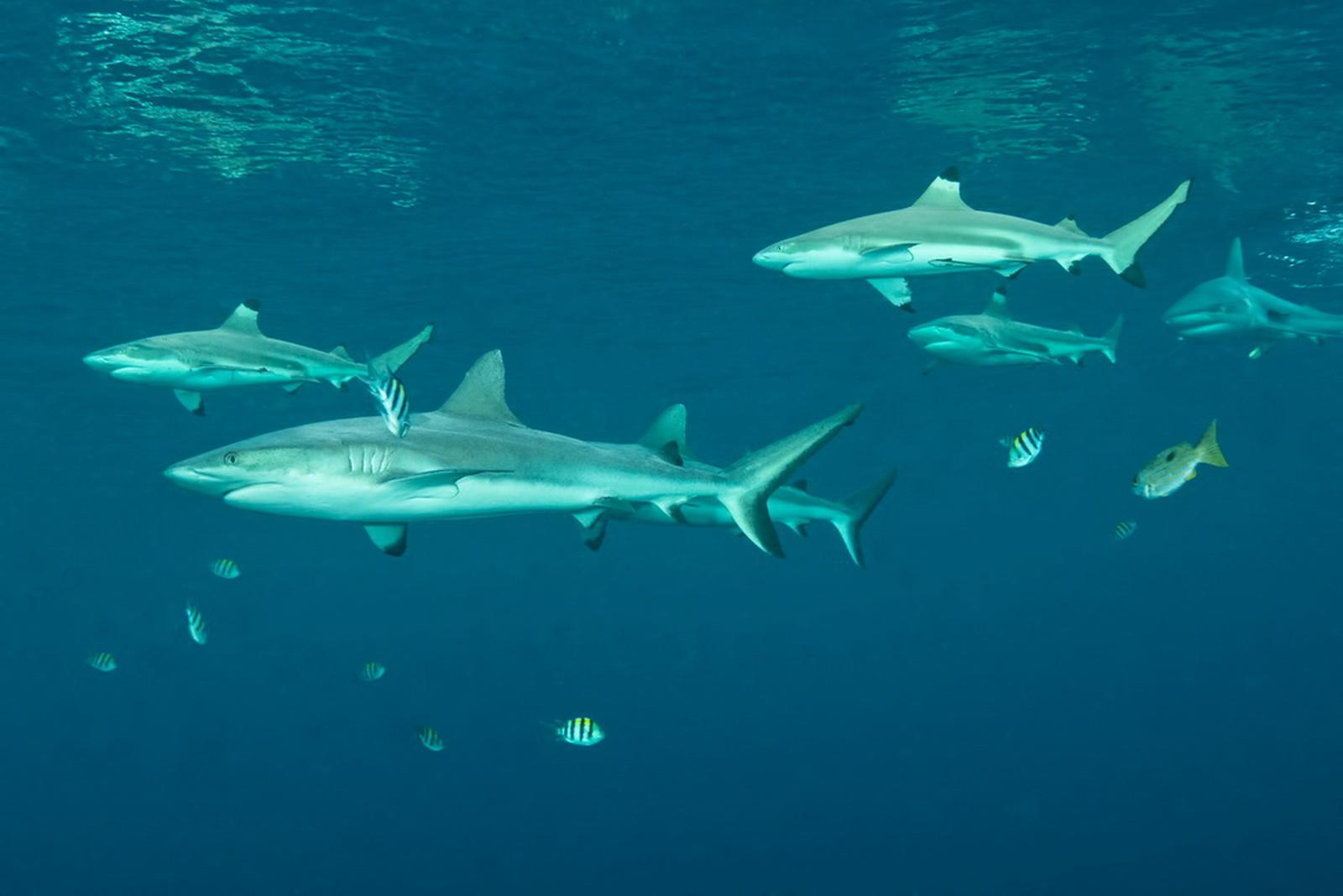 Sharks at Marovo Lagoon