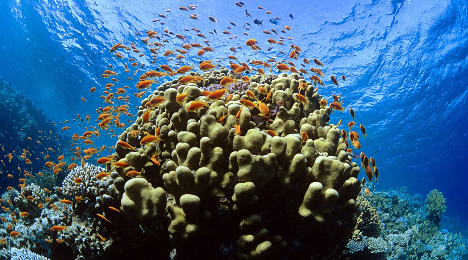 The recovery of tubbataha reef stories the coral triangle for Reef tropical fish