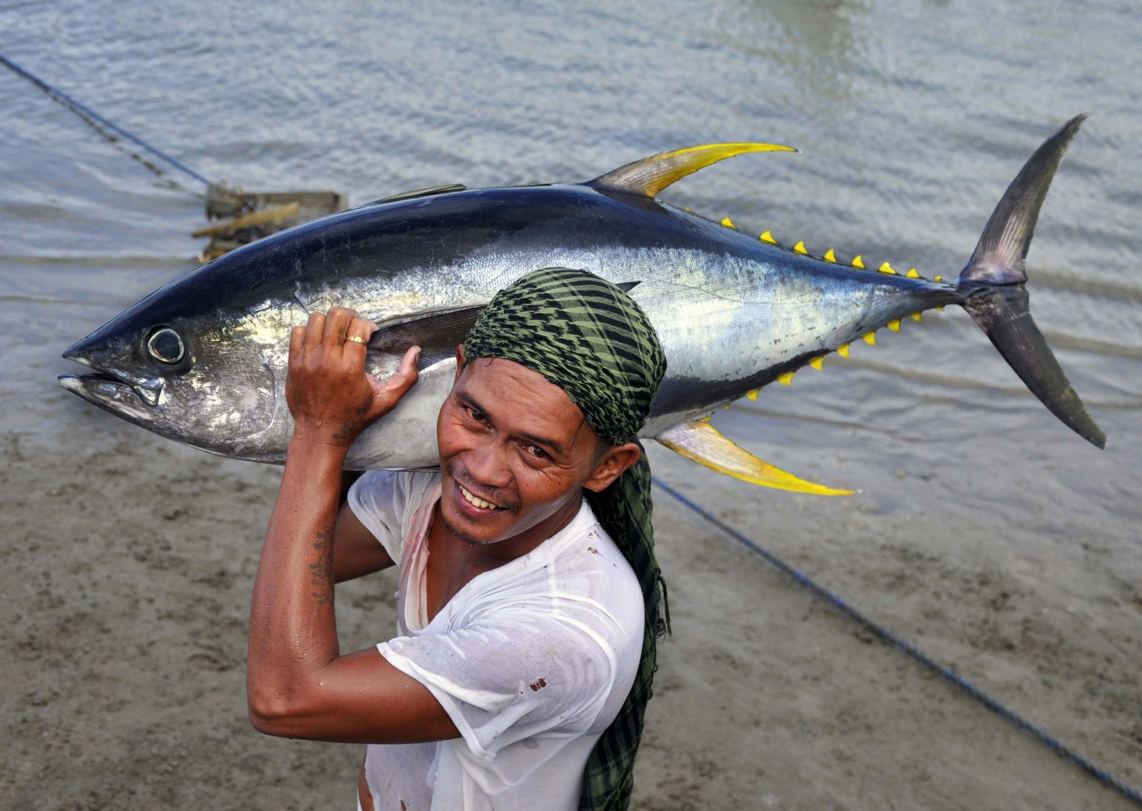 unsustainable fishing has caused yellowfin tuna catches to drop by 75%