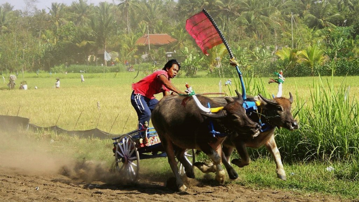 west-bali-traditional-buffalo-race.jpg