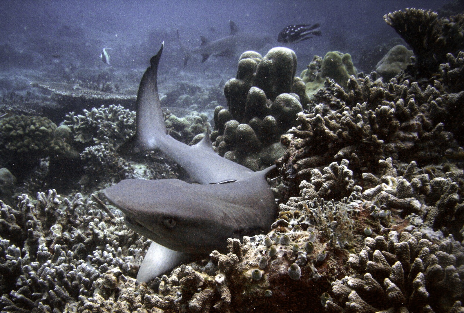 white_tip_black_tip_oceanic_reef_sharks_sipadan