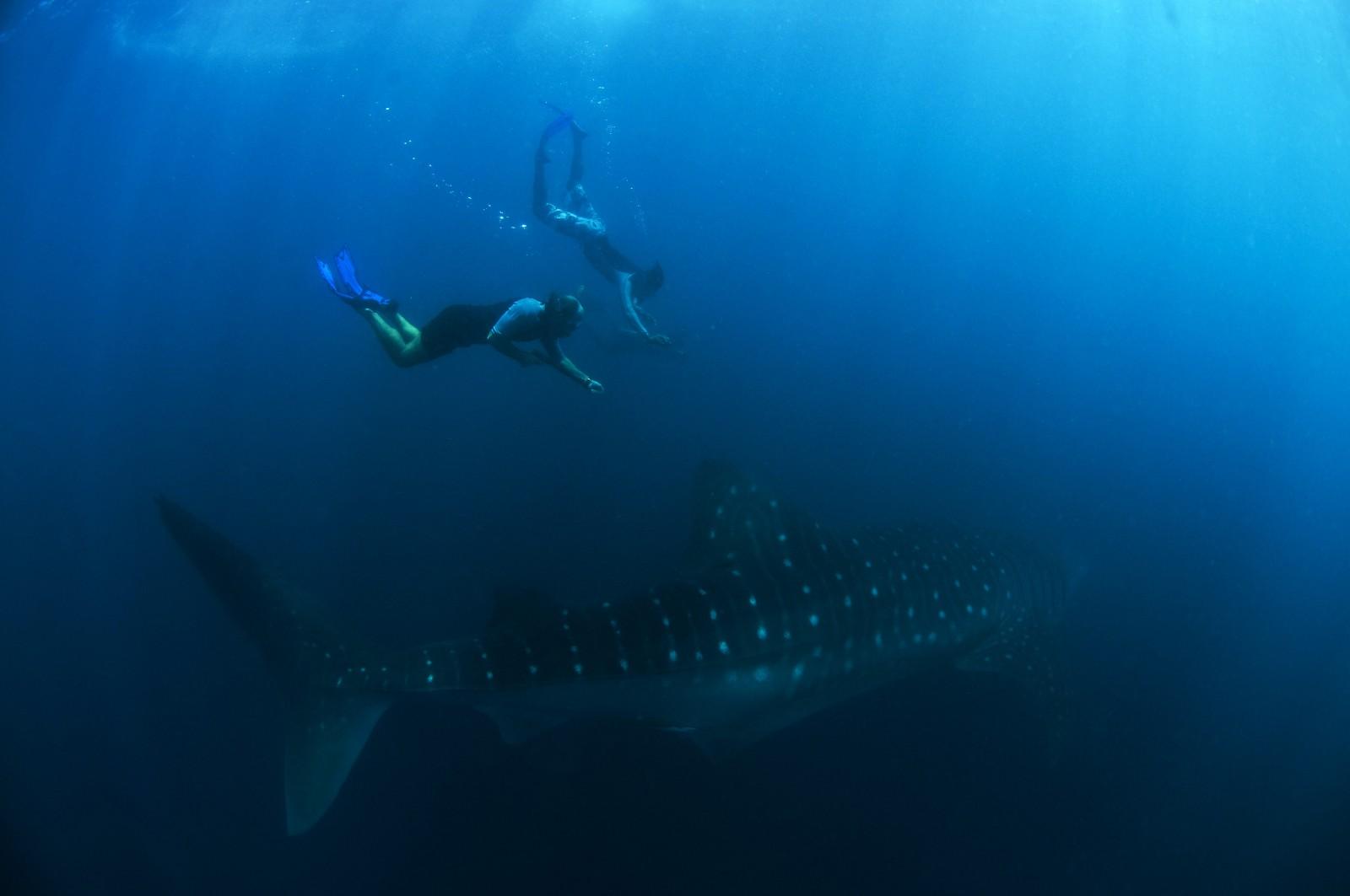 Toppx2 Shark
